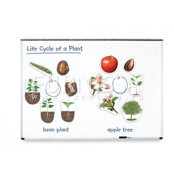 Set Magnetic Urias-Ciclul de Viata al Plantei