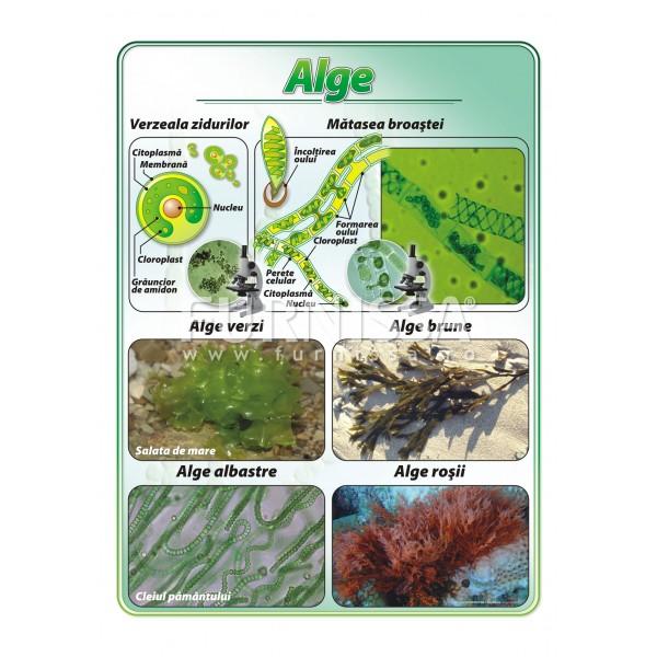 Alge – plansa didactica