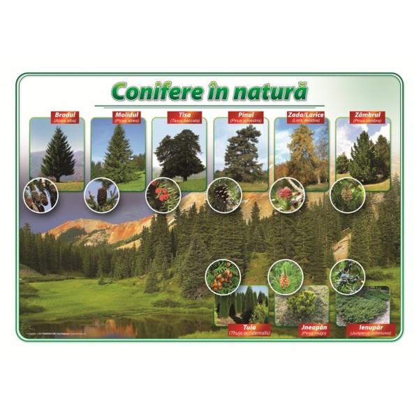 Conifere in natura
