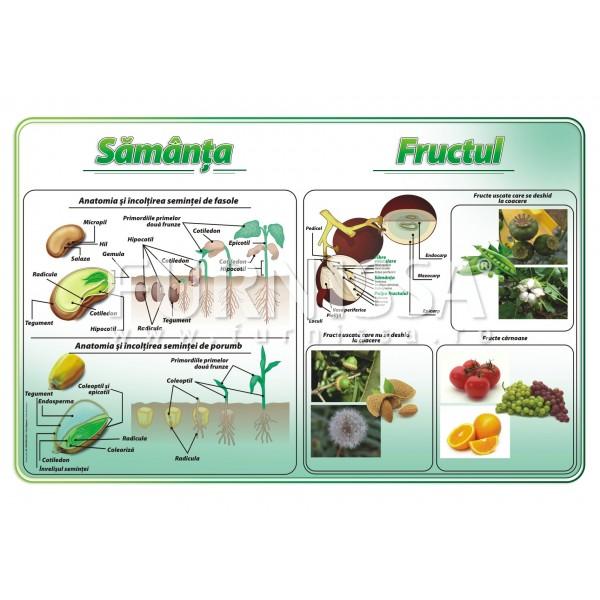 Fruct-samanta