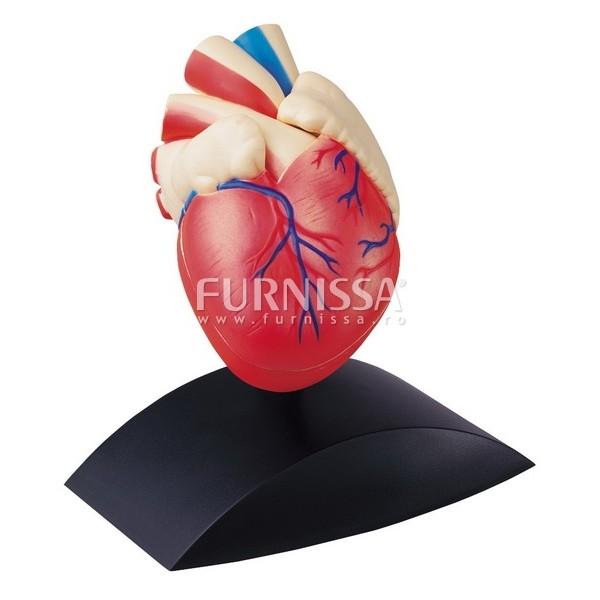 Model Inima Umana