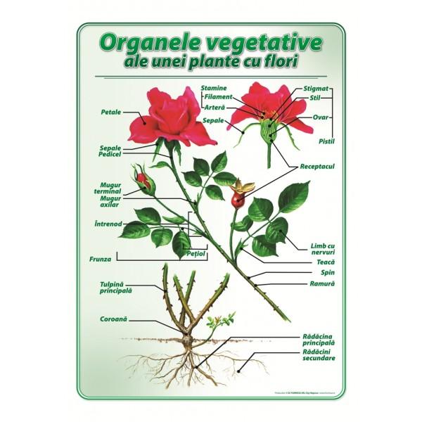 Organele vegetative ale unei plante cu flori