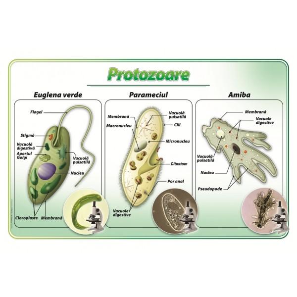 Protozoare – plansa didactica