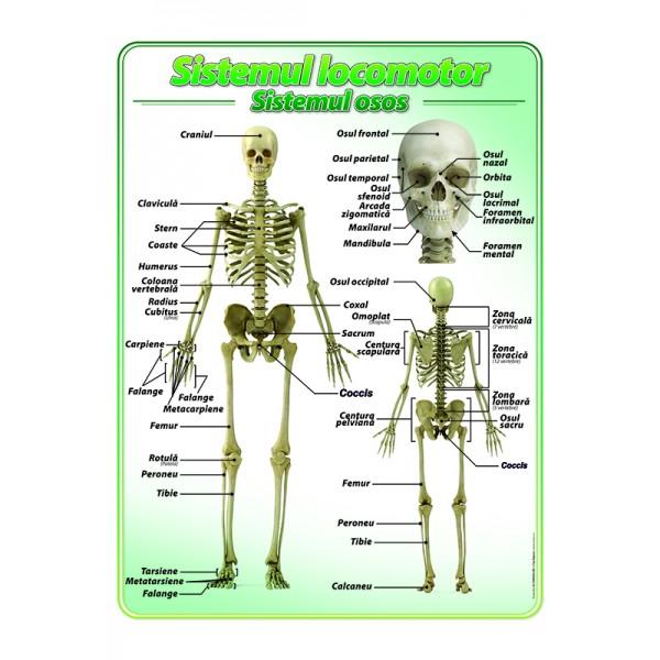 Sistemul locomotor-scheletul